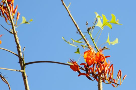Image of Bat's wing coral tree