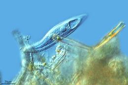 Image of <i>Loxophyllum elegans</i> Wenzel 1961