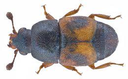 Image of <i>Carpophilus indicus</i> Hisamatsu 1963