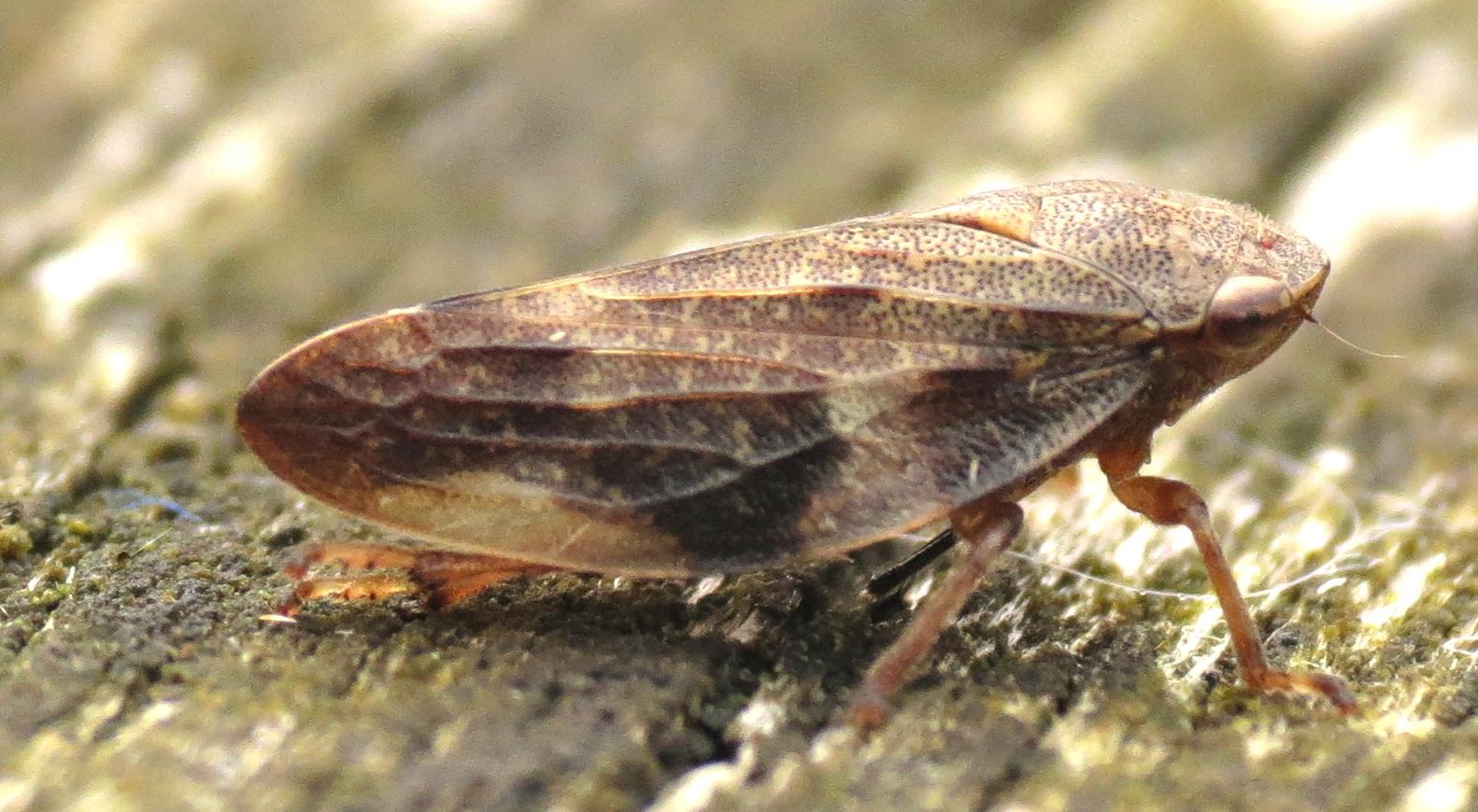 Image of European Alder Spittlebug
