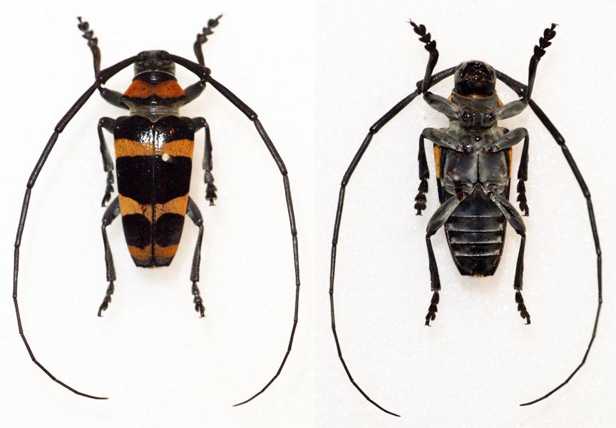 Image of <i>Cereopsius quaestor</i> (Newman 1842)