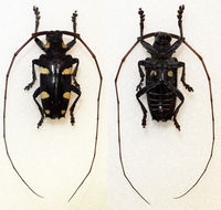 Image of <i>Cereopsius luctor</i> (Newman 1842)