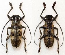 Image of <i>Abryna grisecens</i>