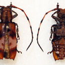 Image of <i>Armatosterna spinifera</i> Jordan 1894