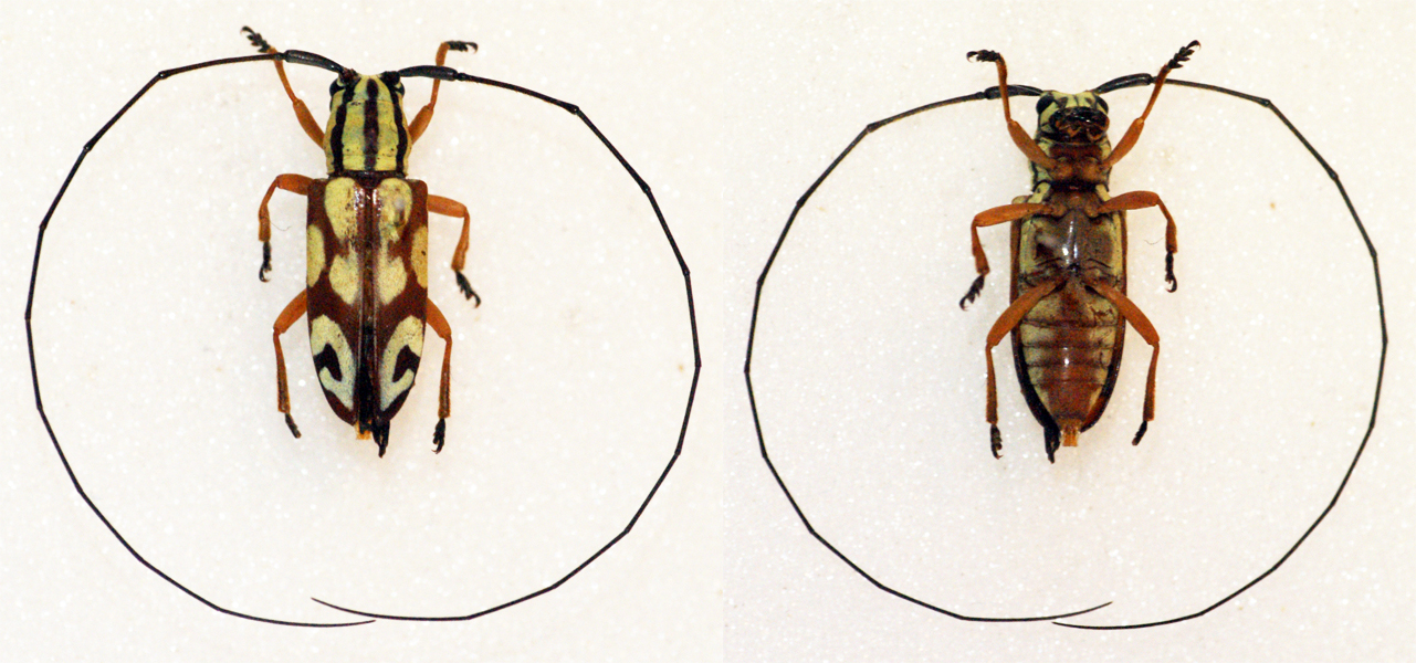 Image of <i>Chariesthes antennata</i> Jordan 1894