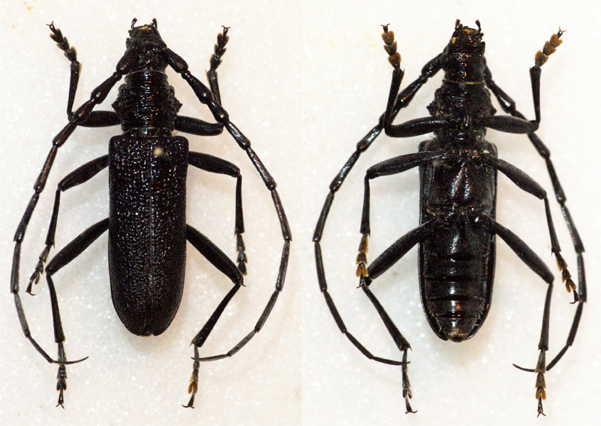 Image of capricorn beetle