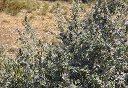 Image of shrubby germander