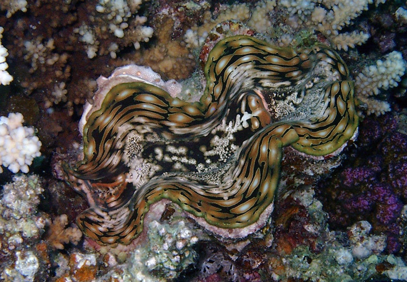 Image of Fluted Clam