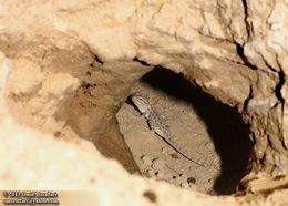 Image of Brilliant Ground Agama