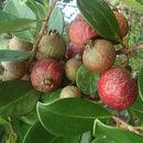 Image of Purple Strawberry Guava