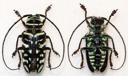 Image of <i>Sternotomis virescens</i> (Westwood 1844)