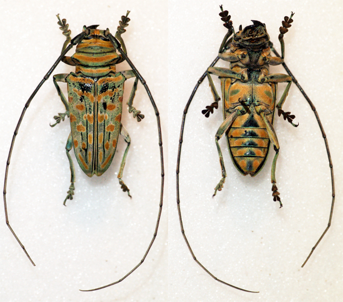 Image of <i>Sternotomis bohemani ignestii</i> Breuning 1940