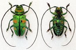 Image of <i>Sternotomis amabilis</i> (Hope 1843)