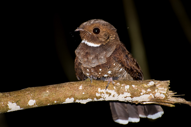 Image of Ocellated Poorwill
