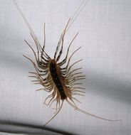 Image of House Centipede