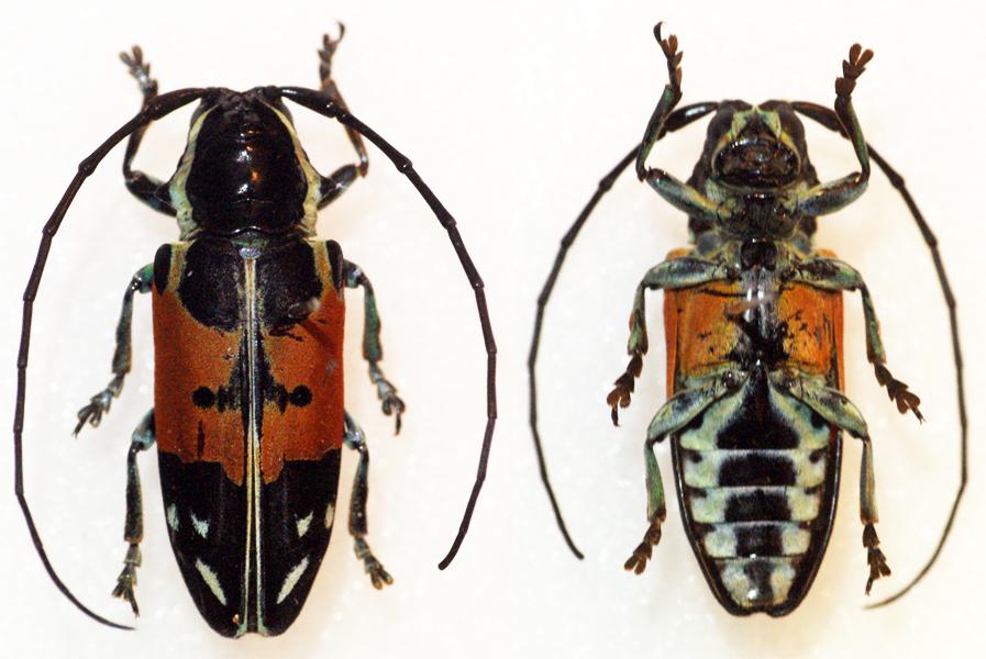 Image of <i>Tragocephala guerini</i>