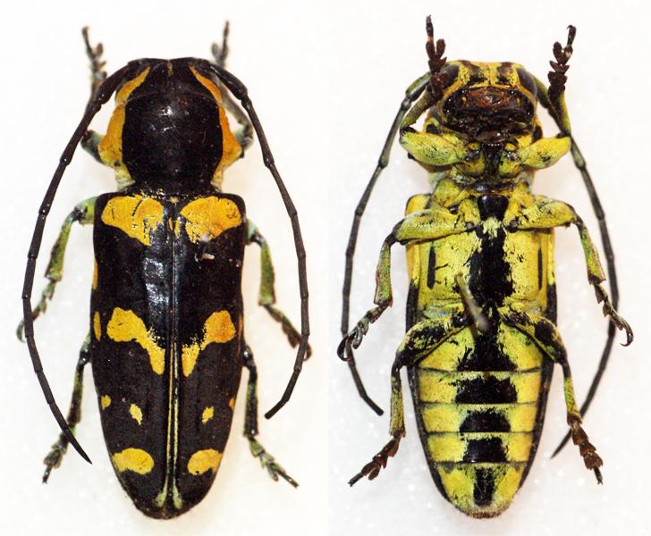 Image of <i>Tragocephala nobilis</i> (Fabricius 1787)