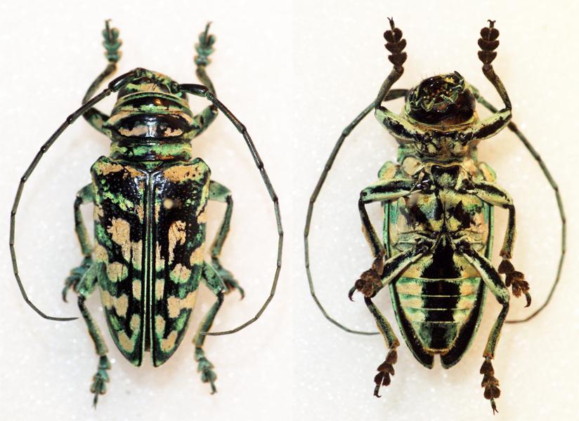 Image of <i>Sternotomis kuntzeni</i> Fiedler 1939