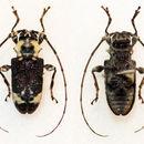 Image of <i>Exalphus malleri</i> (Lane 1955)