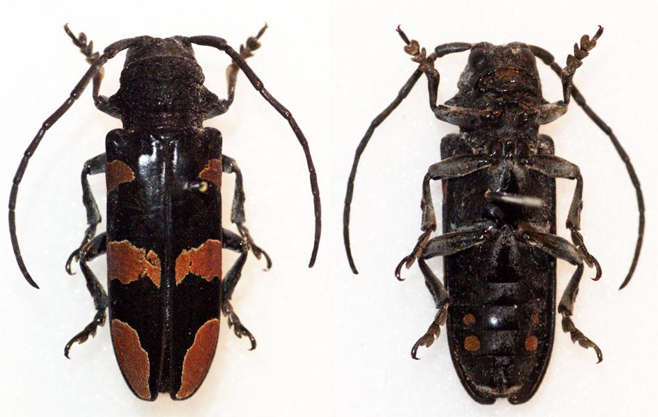 Image of <i>Tragocephala morio</i> Jordan 1903