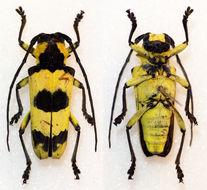 Image of <i>Thermistis conjunctesignata</i> Rondon & Breuning 1970