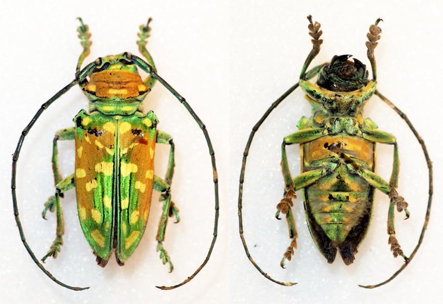 Image of <i>Sternotomis flavomaculata</i> Hintz 1919