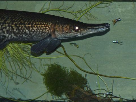 Image of alligator gar