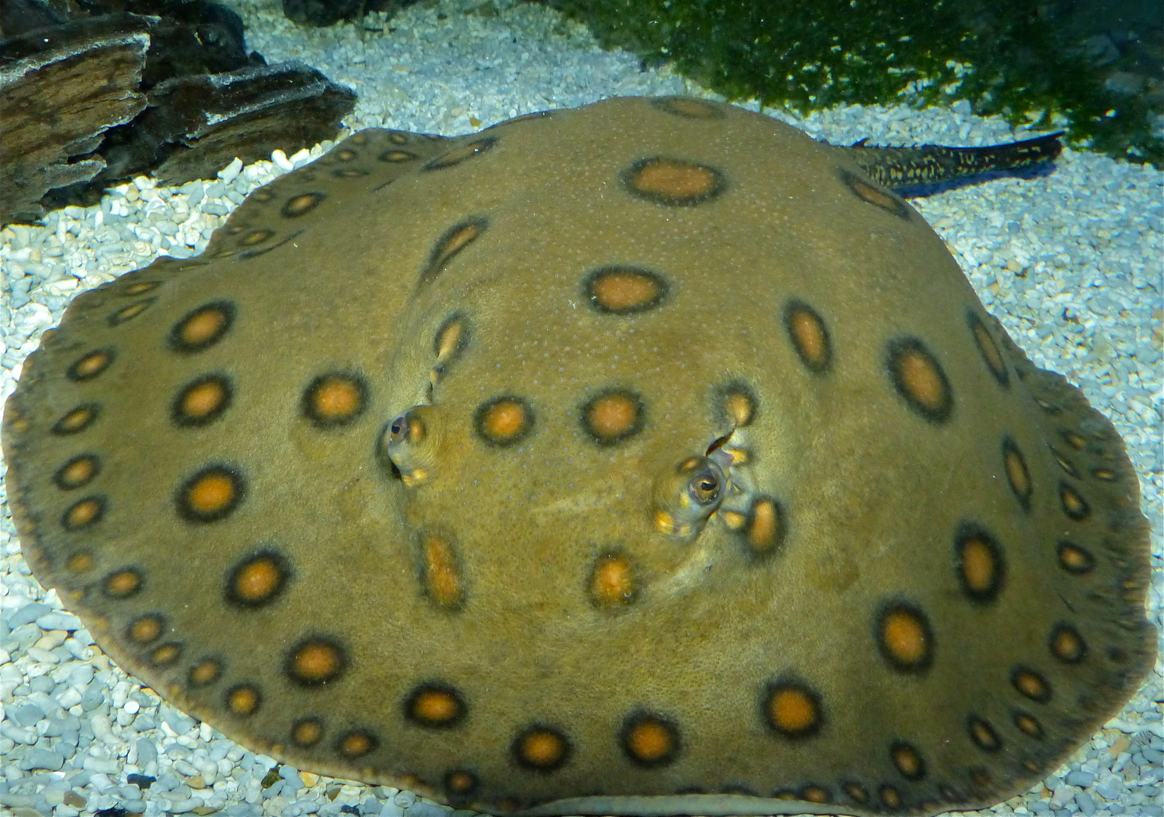 Image of Ocellate River Stingray