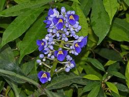 Image of Blue ginger
