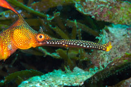 Image of Common Seadragon