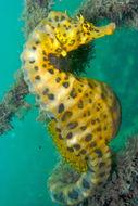 Image of Big-belly Seahorse