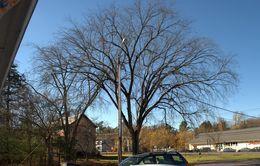 Image of American elm
