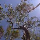 Image of <i>Eucalyptus imlayensis</i> M. D. Crisp & M. I. H. Brooker