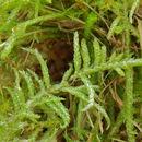 Image of pseudoscleropodium moss