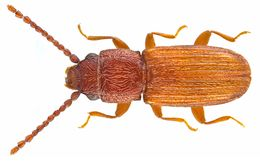 Image of Flat Grain Beetle