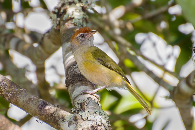 Image of Gray-eyed Greenlet