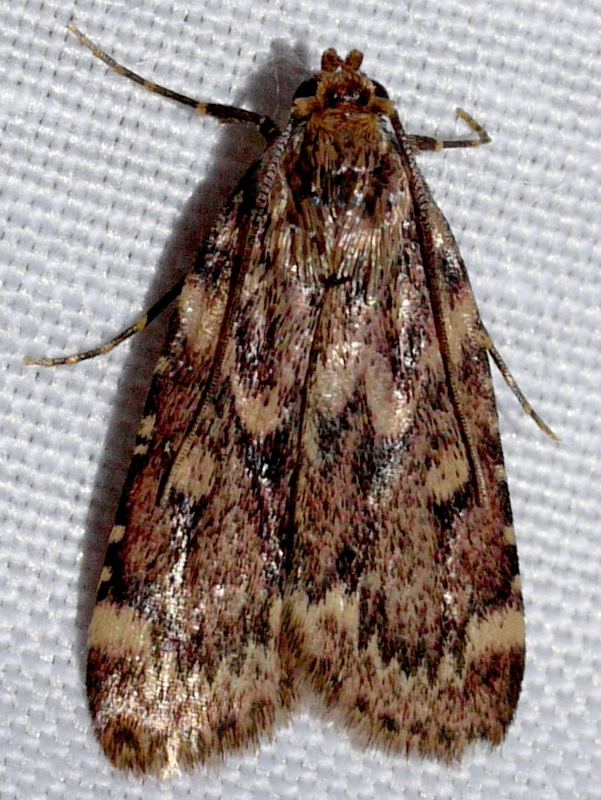 Image of Grease Moth