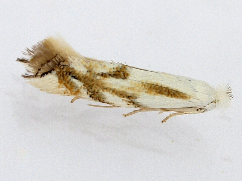 Image of <i>Bucculatrix montana</i> Braun 1920