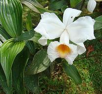 Image of <i>Sobralia leucoxantha</i> Rchb. fil.