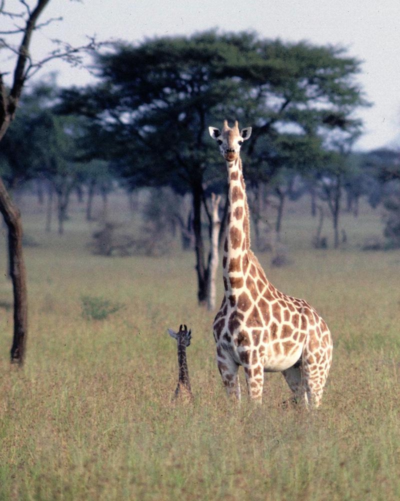 Image of Rothschild's Giraffe