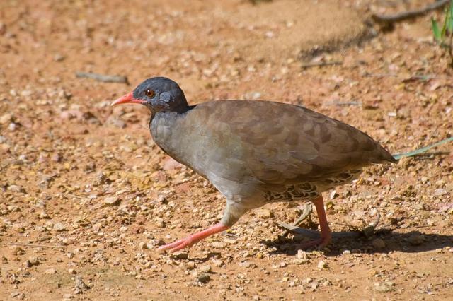 Image of Small-billed Tinamou