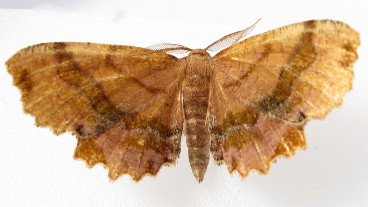 Image of <i>Cepphis armataria</i>