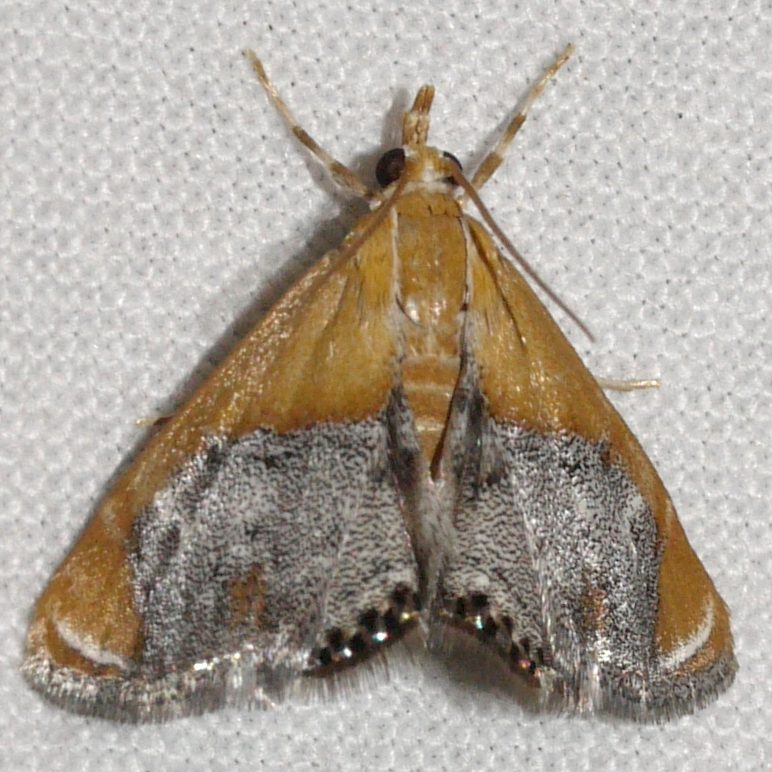 Image of Sooty-winged Chalcoela