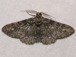 Image of Double-lined Gray Moth