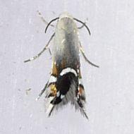 Image of <i>Coptodisca lucifluella</i> Clemens 1860
