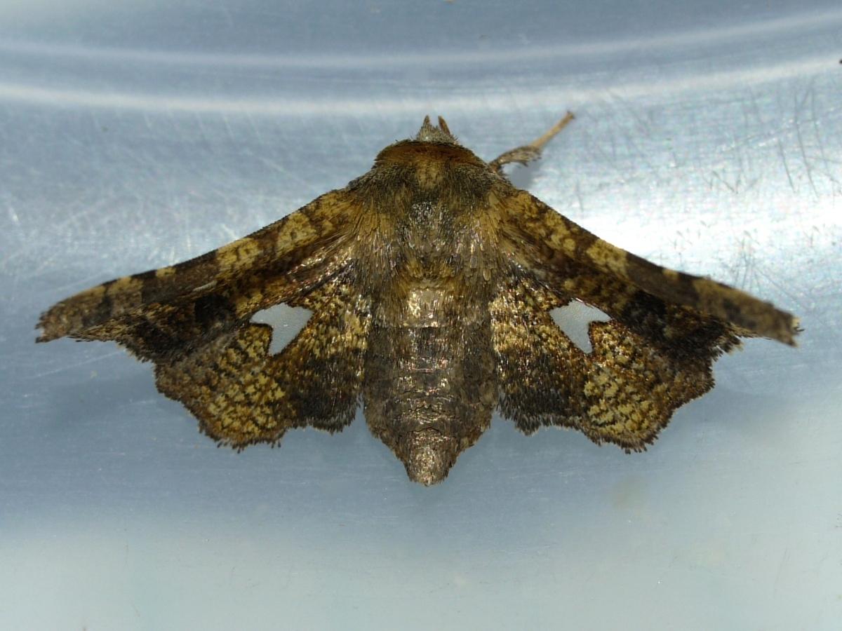 Image of <i>Dysodia oculatana</i> Clemens 1860