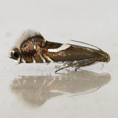 Image of Yellow Nutsedge Moth
