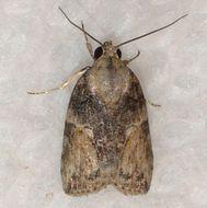 Image of Black-olive Caterpillar Moth