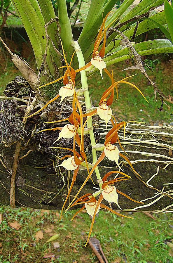 Image of <i>Brassia allenii</i> L. O. Williams ex C. Schweinf.