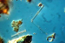 Image of <i>Tabellaria fenestrata</i>